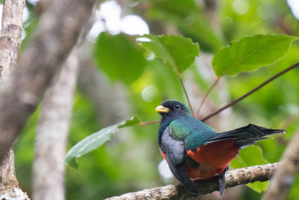 For anyone interested in wildlife photography, the reserve is a great place to spend a day with your camera. (Collared Trogon).