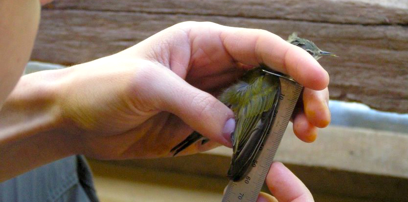 Measuring bird wing length during a mist-netting study.