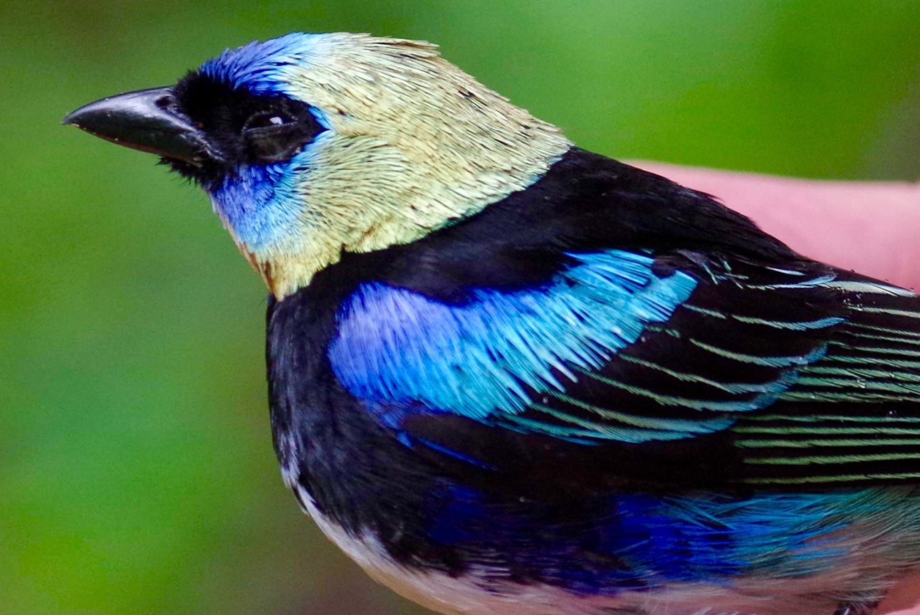 Golden-Hooded-tanager-costa-rica - Cloudbridge Nature Reserve