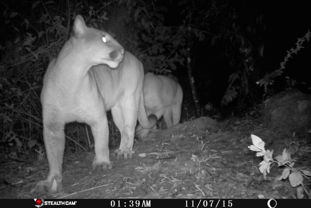 A pair of Puma (Puma concolor) caught on a camera trap.