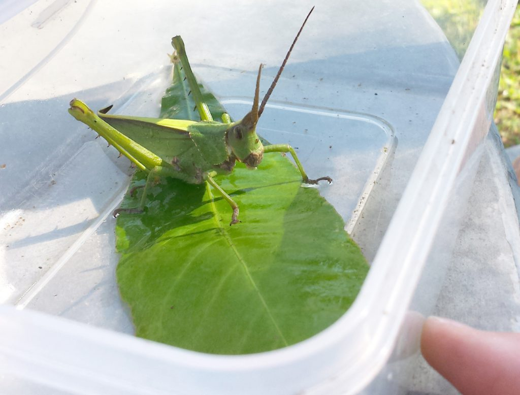 This giant grasshopper is one of the interesting critters we have shown to kids over FaceTime.