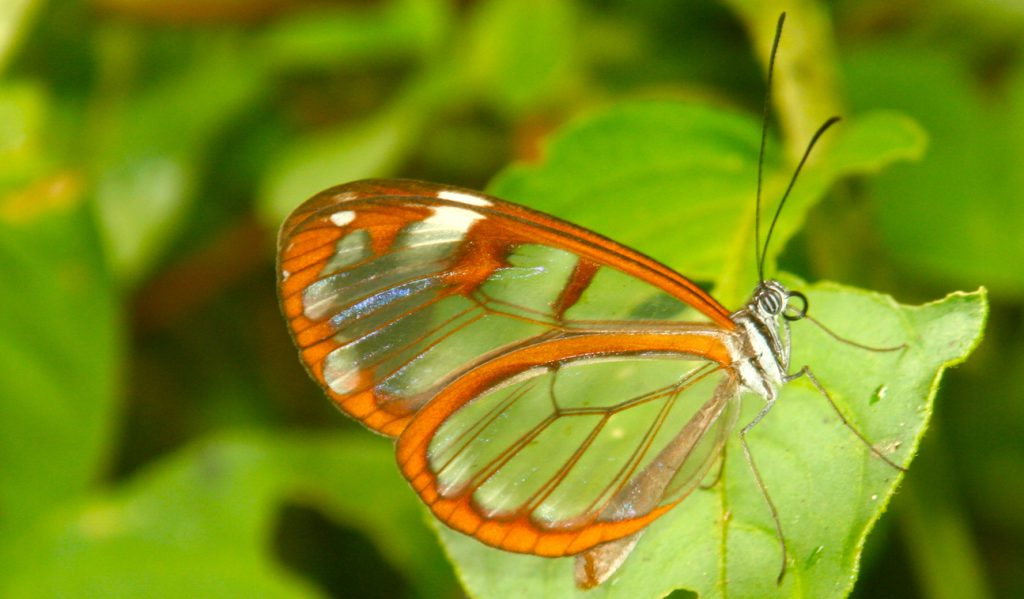 Glass_Wing_Butterfly_Tour