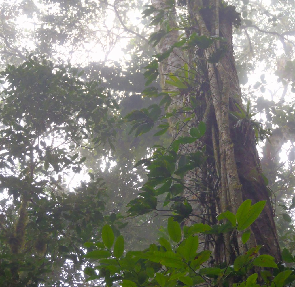 Cloud Forest Old Growth