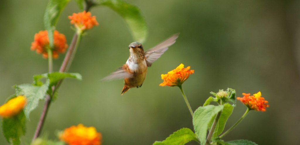 Scintillent_Hummingbird