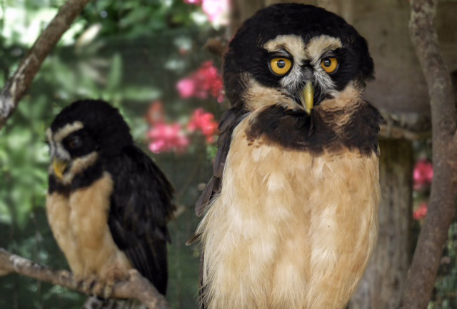 The wise looking Spectacled Owl can be found at Cloudbridge. This photo provided by our friends at Toucan Rescue in San Jose.