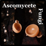 Ascomycete Species List Costa Rica