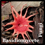 Basidiomycete Fungi Species List Cost Rica