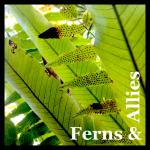 Ferns & Allies Button