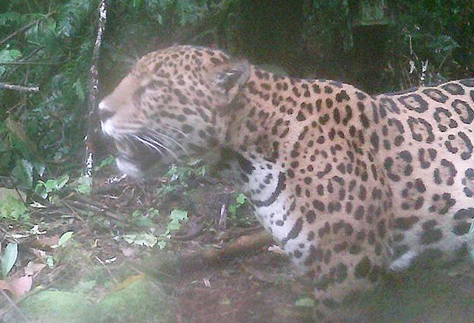 In October 2016 and January 2017, this Jaguar (Panthera onca) was spotted on our camera traps.