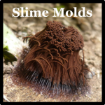 Slime Mold Speices List Costa Rica