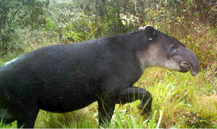 Baird's Tapir (Tapirus bairdii) is just one of the sensitive or endangered species that calls Cloudbridge home.