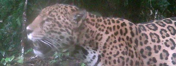 Jaguar sign of forest health biodiversity food web support